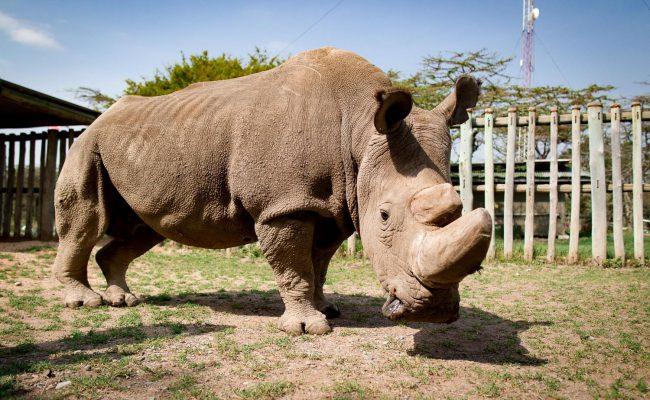 Фото - Умер последний в мире самец северного белого носорога